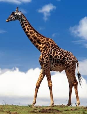 Жираф - слушать стихотворение Николая Гумилёва онлайн